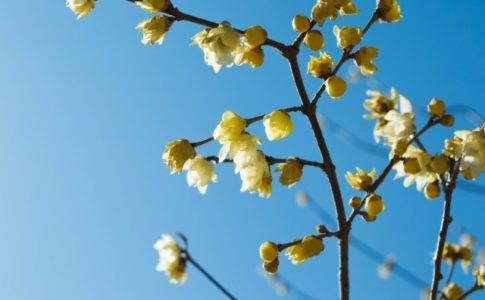 らご2月に咲いたろうばい